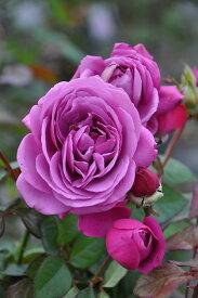 【予約大苗】バラ苗 プラムパーフェクト (FL紫) 国産苗 6号鉢植え品《J-IR2R》 ※2月末までにお届け