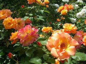 【予約大苗】バラ苗 アンネの思い出 (FL複橙) 国産苗 6号鉢植え品《J-MB》 ※2月末までにお届け