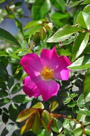 【大苗】バラ苗 Carlin's Rhythm (Sh桃) 国産苗 6号鉢植え品