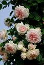 【予約大苗】バラ苗 ルミナスピラー (Ant淡桃) 国産苗 6号鉢植え品《IR-IRO3》※2月末までにお届け