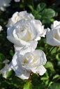 バラ苗【中苗】ぎんせかい【銀世界】ギンセカイ (FL白) 国産苗 6号鉢植え品【即納】《J-FL20》