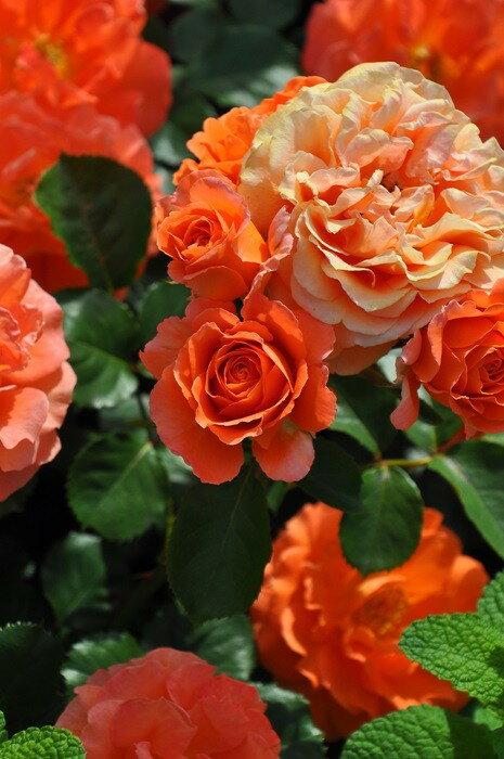 特価【大苗】 バラ苗 ビブレバカンス! (FL橙) 国産苗 6号鉢植え品《IRI-IR3》期間限定 SALEアイテム 20%OFF