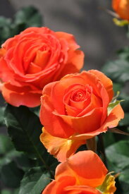 バラ苗【6号新苗】ブラスバンド (FL橙) 国産苗 6号鉢植え品【即納】《J-FL10》