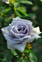 バラ苗【新苗】せいりゅう【青龍】(HT青紫) 国産苗《KAI》