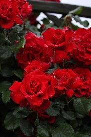 バラ苗【6号新苗】グランデアモーレ (CL赤) 国産苗 6号鉢植え品【即納】《J-CL10》