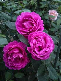 バラ苗【中苗】ウルリッヒブルンナフィス (HP濃桃) 国産苗 6号鉢植え品《J-OC20》