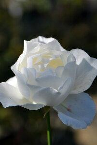 【大苗】バラ苗 ホワイトクイーンエリザベス (HT白) 国産苗 6号鉢植え品【即納】《J-HT20》 0321追加