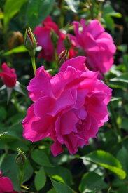 【大苗】バラ苗 メアリーナボナン (Cl桃) 国産苗 6号鉢植え品【即納】 0321追加