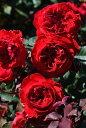 ●●●【つぼみ付】バラ苗【中苗】マイローズ (F赤) 国産苗 6号鉢植え品【即納】《J-R...