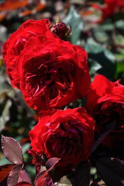 【新苗】バラ苗マイローズ(赤)国産苗6号鉢植え品《J-RON》2019新品種春