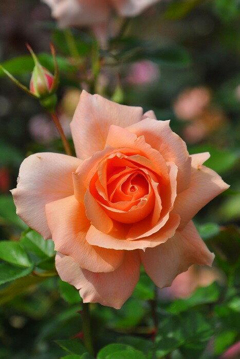 特価【大苗】 バラ苗 アプリコットキャンディ (HT橙) 国産苗 6号鉢植え品《J-IRO》期間限定 SALEアイテム 20%OFF
