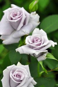 【大苗】バラ苗 星の王子 (FL青紫) 国産苗 6号鉢植え品《J-KAI》