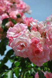 バラ苗【中苗】ローゼンドルフシュパリースホープ (Cl桃) 国産苗 6号鉢植え品【即納】《J-CL15》