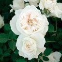 【予約大苗】バラ苗 ブノワマジメル (UR白) 国産苗 6号鉢植え品《KMG-GR1》※2月末までにお届け