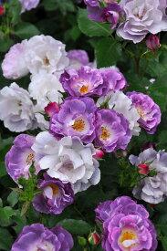 【予約大苗】バラ苗 ブルーフォーユー (Fl紫) 国産苗 6号鉢植え品《OM-ZEK》 ※2月末までにお届け