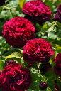 【送料無料】特価【大苗】バラ苗 アストリットグレーフィンフォンハルデンベルク (Ant赤) 国産苗 大苗 6号鉢植え品 即…