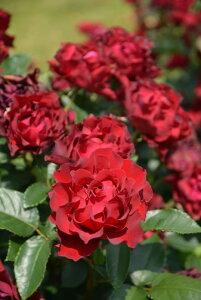 【大苗】バラ苗 オマージュアバルバラ (Del赤) 国産苗 6号鉢植え品【即納】[契約品種]《Han-DEL》