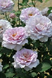 【予約大苗】バラ苗 ニューウェーブ (HT淡紫) 国産苗 6号鉢植え品《MA-MA2》※2月末までにお届け