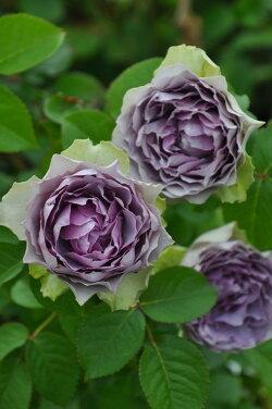 【大苗】バラ苗コフレ(RM紫)国産苗6号鉢植え品即納《Kb-RM》2019冬新品種