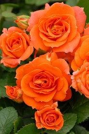 【大苗】バラ苗 アンバーメイアンディナ (Min橙) 国産苗 6号鉢植え品【即納】[農林水産省 登録品種]《IR-MIN1》 0405追加
