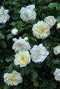 【予約大苗】バラ苗 アルベリックバルビエ (R白) 国産苗 6号鉢植え品《J-MC15》※2月末までにお届け