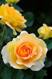 【予約大苗】バラ苗 ハニーブーケ (FL淡橙) 国産苗 6号鉢植え品《YM-B_J-MB》※2月末までにお届け