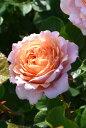 【予約大苗】バラ苗 パートナー (AE杏) 国産苗 6号鉢植え品《J-AE》2020春新品種 ※2月末までにお届け