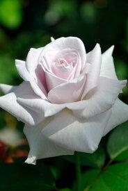 【予約大苗】バラ苗 ステンレススチール (HT淡紫) 国産苗 6号鉢植え品《J-MB15》※2月末までにお届け