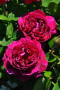 【予約大苗】バラ苗 バロンジロードゥラン (HP覆赤) 国産苗 6号鉢植え品《J-MC15》※2月末までにお届け