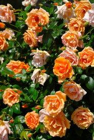 【大苗】バラ苗 ロイヤルサンセット (Cl橙) 国産苗 6号鉢植え品【即納】《YM-C_J-MC》 0405追加