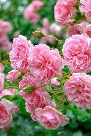 【大苗】バラ苗 ホーム&ガーデン (Ant桃) 国産苗 6号鉢植え品【即納】《YM-C_J-MC》 0405追加