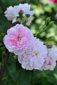 バラ苗【6号新苗】ブラッシュノワゼット (N薄桃) 国産苗 6号鉢植え品《J-OB15》 0707販売