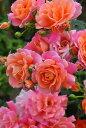 【予約大苗】バラ苗 ディズニーランドローズ (FL複橙) 国産苗 6号鉢植え品《J-IRM2》※2月末までにお届け