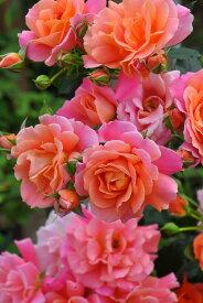 バラ苗【6号新苗】ディズニーランドローズ (FL複橙) 国産苗 6号鉢植え品【即納】《J-IRM2》