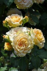 【予約大苗】バラ苗 エメラルドアイル (Cl橙) 国産苗 6号鉢植え品《IR-IRO3》※2月末までにお届け