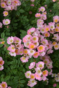 【大苗】バラ苗 キューランブラー (R淡桃) 国産苗 6号鉢植え品【即納】《J-OC20》 0321追加