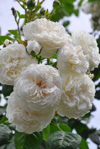 【大苗】バラ苗 ロングジョンシルバー (R白) 国産苗 6号鉢植え品【即納】《J-OC20》 0321追加
