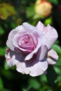 【大苗】バラ苗 シークレットパフューム (HT紫) 国産苗 6号鉢植え品【即納】[農林水産省 登録品種]《IR-IRO3》
