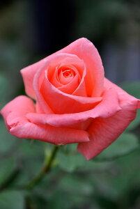 【大苗】バラ苗 ソニア (HT鮭桃) 国産苗 6号鉢植え品《J-HT20》 0321追加