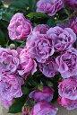 【予約大苗】バラ苗 シャドウオブザムーン (FL藤) 国産苗 6号鉢植え品《J-RPN》※2月末までにお届け