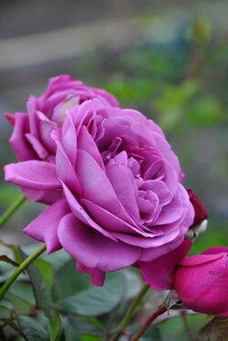 バラ苗【中苗】プラムパーフェクト(FL紫)国産苗6号鉢植え品【即納】《J-IRM2》