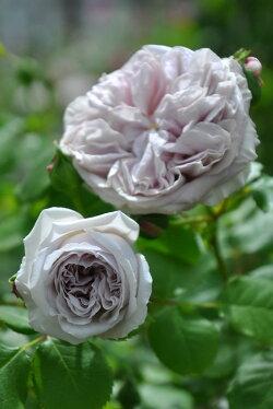 【予約大苗】バラ苗カラーオブジュピター(Sh薄茶)国産苗6号鉢植え品《J-YJR》※2月末までにお届け