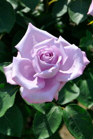 バラ苗【新苗】ブルームーン (HT紫) 国産苗《J-HT10》 0415販売
