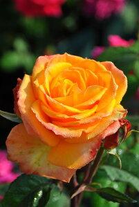【大苗】バラ苗 クリスエバート (HT橙) 国産苗 6号鉢植え品【即納】《J-HT20》 0321追加
