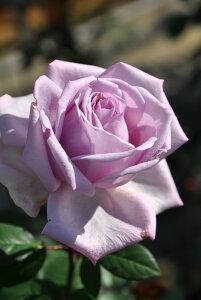 【大苗】バラ苗 シルバースプーン (HT淡紫) 国産苗 6号鉢植え品【即納】《J-HT20》 0321追加
