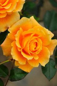 バラ苗【6号新苗】まんよう【万葉】マンヨウ (FL橙) 国産苗 6号鉢植え品《J-FL15》 0707販売