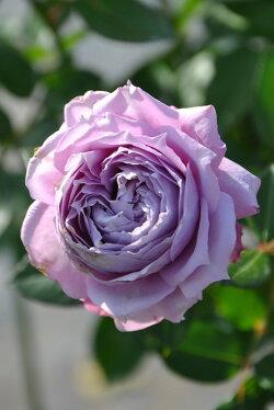 バラ苗【中苗】ノヴァーリス(Ant紫)国産苗6号鉢植え品即納《J-IRM2》