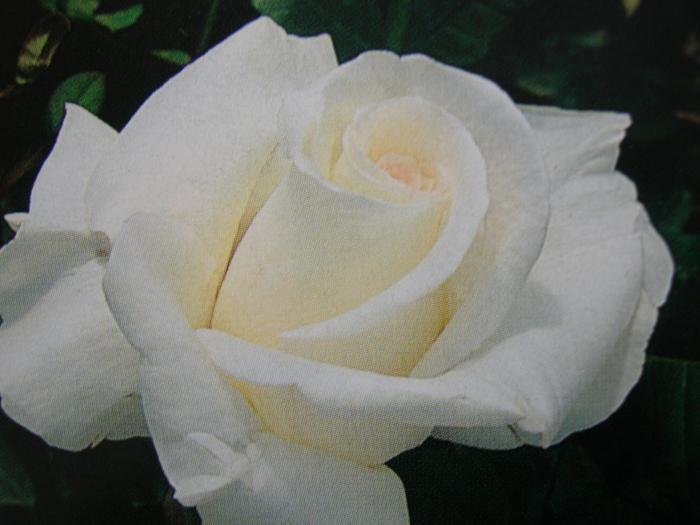 ◆即納 【バラ苗】 オーナー 【オナー】 (HT白色) 国産苗 中苗 6号鉢植え品 ● 【四季咲き.木立.大輪.ハイブリッド・ティー】《NHT-15》