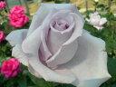バラ苗【新苗】つるブルームーン (Cl紫) 国産苗《J-CL10》