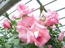 ◆即納 【バラ苗】 ローゼンドルフシュパリースホープ (Cl桃色) 国産苗 中苗 6号鉢植え品 ● 【つるバラ.ツルバラ.つるばら】《NCL-15》